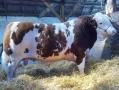 sneumgaard-gulliver-juli-2013-simmental-bull
