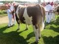 sneumgaard-gulliver-landsskuet-2013-simmental-bull