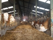 Ardadoney simmentals (4)