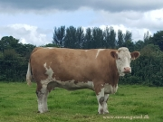 Kilbride Farm Simmentals (10)