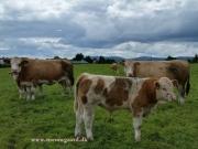 Kilbride Farm Simmentals (11)
