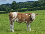 Kilbride Farm Simmentals (13)