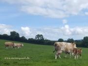 Kilbride Farm Simmentals (14)
