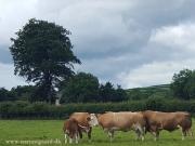 Kilbride Farm Simmentals (15)