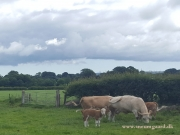 Kilbride Farm Simmentals (17)