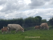 Kilbride Farm Simmentals (18)