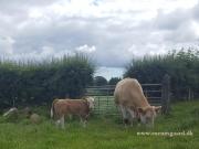 Kilbride Farm Simmentals (19)