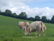 Kilbride Farm Simmentals (20)