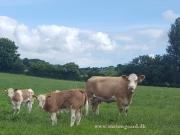 Kilbride Farm Simmentals (21)
