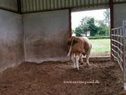 Kilbride Farm Simmentals (22)