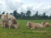 Kilbride Farm Simmentals (25)