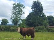 Kilbride Farm Simmentals (28)