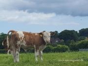 Kilbride Farm Simmentals (31)