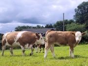 Kilbride Farm Simmentals (32)