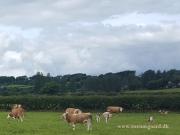 Kilbride Farm Simmentals (34)