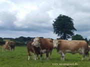 Kilbride Farm Simmentals (36)