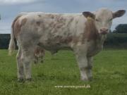 Kilbride Farm Simmentals (37)