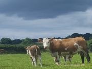 Kilbride Farm Simmentals (38)