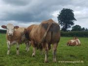 Kilbride Farm Simmentals (39)