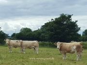 Kilbride Farm Simmentals