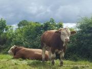 Kilbride Farm Simmentals (6)