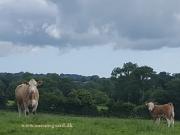 Kilbride Farm Simmentals (9)