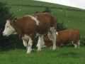 Simmental World Congress 2008 (144)