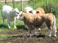 Simmental World Congress 2008 (270)