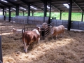 Simmental World Congress 2008 (274)