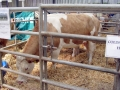 Simmental World Congress 2008 (387)